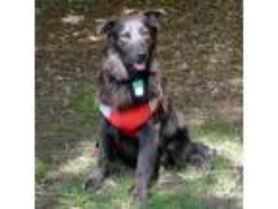 Adopt Idgie a Gray/Silver/Salt & Pepper - with Black Retriever (Unknown Type) /