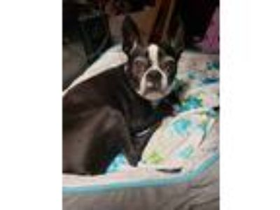 Adopt Lucy Jane a Black - with White Boston Terrier dog in Hot Springs