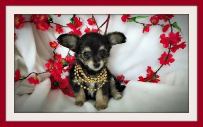 TINY POMERANIAN MIXED WITH YORKSHIRE TERRIER IN SAN JOSE !
