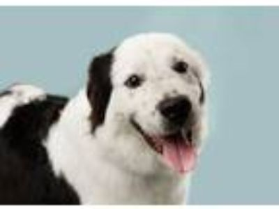 Adopt Toby Keith a Border Collie