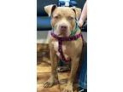 Adopt CP Blue a Tan/Yellow/Fawn Pit Bull Terrier / Mixed dog in Costa Mesa