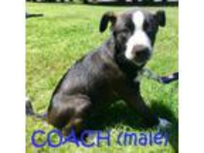 Adopt Coach a Border Collie, Husky