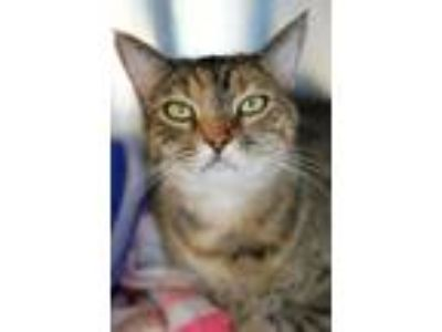 Adopt Twiggy a Brown Tabby Domestic Shorthair / Mixed (short coat) cat in Los