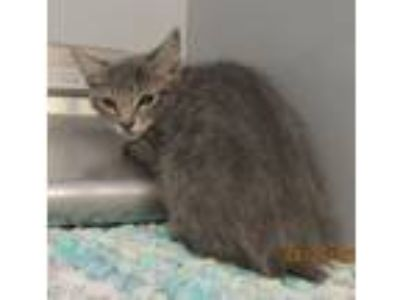 Adopt 42019275 a Domestic Short Hair
