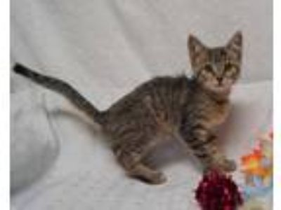 Adopt Andi (C19-182) a Brown or Chocolate Domestic Shorthair / Domestic