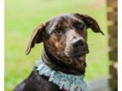 Adopt Rocco a Brindle Labrador Retriever / Shepherd (Unknown Type) / Mixed dog
