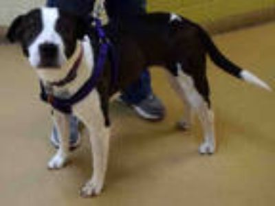 Adopt BELLA a Black - with White American Pit Bull Terrier / Mixed dog in Ogden