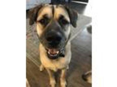 Adopt Dax a Tan/Yellow/Fawn - with Black Anatolian Shepherd / Mastiff dog in
