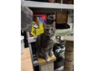 Adopt Cloud a Gray, Blue or Silver Tabby Domestic Shorthair / Mixed (short coat)