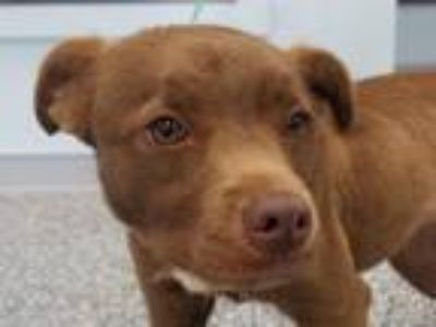 Adopt Coco a Brown/Chocolate Labrador Retriever / Boxer dog in Carthage