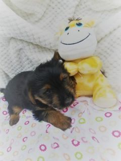 Yorkshire Terrier PUPPY FOR SALE ADN-76017 - Yorkie Puppies