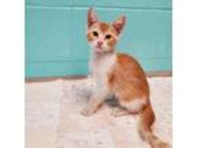 Adopt Hennessy a Orange or Red Tabby Domestic Shorthair (short coat) cat in