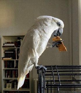 Umbrella Cockatoo bird for rehoming
