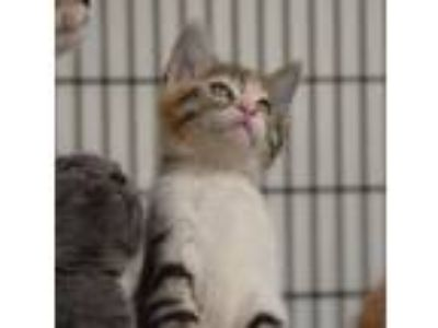 Adopt MacHenzie a Calico or Dilute Calico Calico / Mixed (short coat) cat in