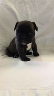 French Bulldog PUPPY FOR SALE ADN-92959 - Male French Bulldog