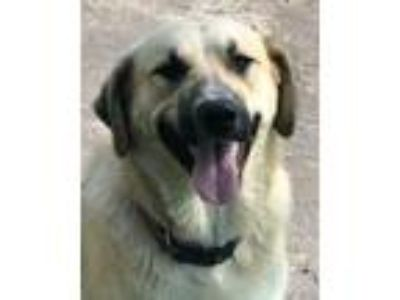 Adopt Chipper a Anatolian Shepherd, Labrador Retriever