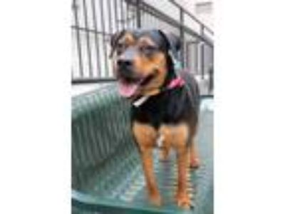 Adopt Tagg a Black Rottweiler / Mixed dog in Chicago, IL (23299640)