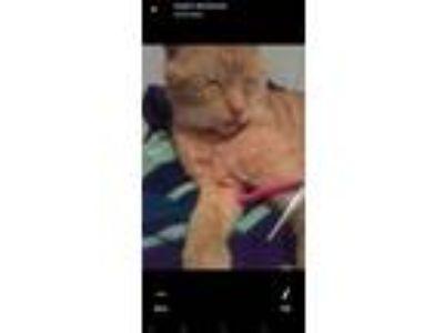 Adopt Trumpet a Orange or Red Tabby American Shorthair cat in Greer