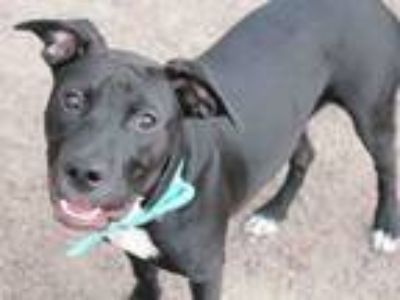 Adopt JOJO a Pit Bull Terrier, Mixed Breed
