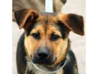 Adopt Charles a German Shepherd Dog