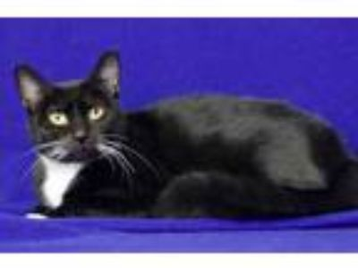 Adopt Rali a All Black Domestic Shorthair / Domestic Shorthair / Mixed cat in