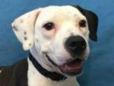 Adopt Octavia a White American Pit Bull Terrier / Mixed dog in Golden Valley
