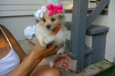 Pomeranian PUPPY FOR SALE ADN-88360 - Adorable Pomeranian Pups