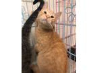 Adopt Thumb a Orange or Red Tabby Domestic Shorthair (short coat) cat in