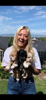Cocker Spaniel Puppies -AKC
