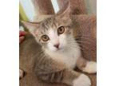 Adopt Hickory a Gray, Blue or Silver Tabby Domestic Shorthair (short coat) cat