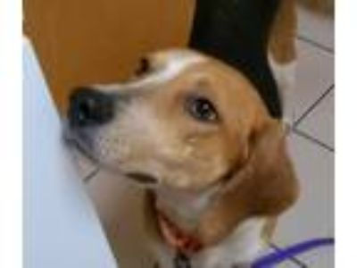 Adopt Olive a Tricolor (Tan/Brown & Black & White) Hound (Unknown Type) / Mixed
