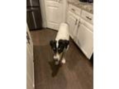 Adopt Cadillac a Tricolor (Tan/Brown & Black & White) Pointer dog in Fort Worth
