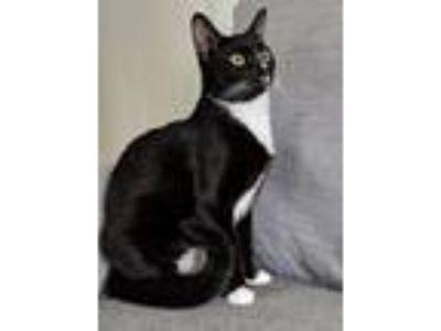 Adopt Millie a Black & White or Tuxedo Domestic Shorthair / Mixed (short coat)