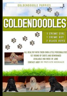 Goldendoodle PUPPY FOR SALE ADN-78158 - GoldenDoodle Puppies