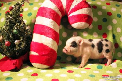 Adorable Mini Pigs looking for a home!