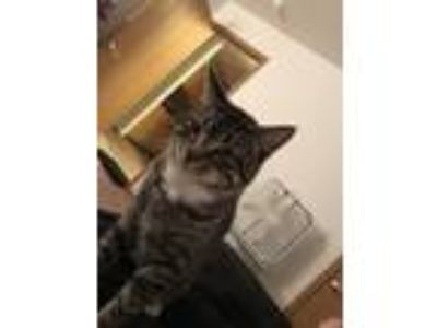 Adopt ASH a Tiger Striped Domestic Shorthair / Mixed cat in Saint Johns