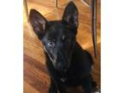 Adopt Fiona a Black - with Tan, Yellow or Fawn German Shepherd Dog / Mixed dog