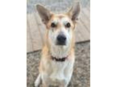 Adopt Rocky a Saluki / Shepherd (Unknown Type) / Mixed dog in Matawan