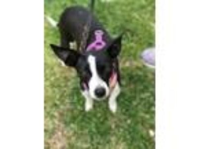 Adopt Dolly a Rat Terrier