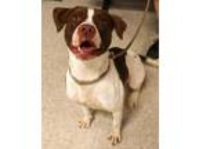 Adopt Mocha a White American Pit Bull Terrier / Mixed dog in Fort Worth