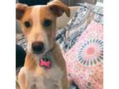 Adopt Laci a Tan/Yellow/Fawn - with White Terrier (Unknown Type