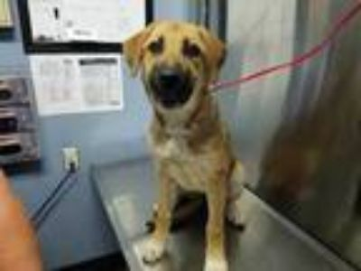 Adopt Holly a Tan/Yellow/Fawn Shepherd (Unknown Type) / Mixed dog in