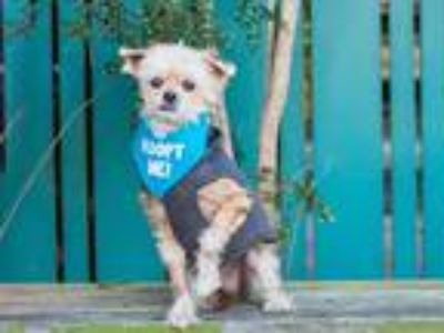 Adopt Reno Raines a Poodle (Miniature) / Mixed dog in Pacific Grove