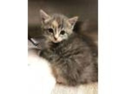 Adopt Peanut Butter Jiggles a Domestic Medium Hair