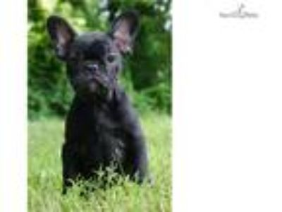Fendi Adorable French Bulldog Puppy Available!