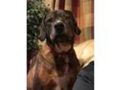 Adopt Comet a Brown/Chocolate - with White Hound (Unknown Type) / Mixed dog in