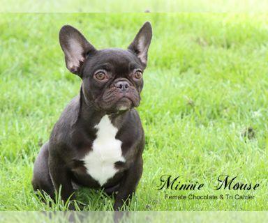 French Bulldog PUPPY FOR SALE ADN-121962 - Akc MINI Chocolate Female French Bulldog