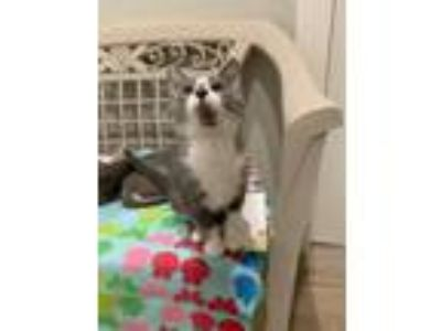 Adopt Baby Ruth a Domestic Shorthair / Mixed (short coat) cat in St.