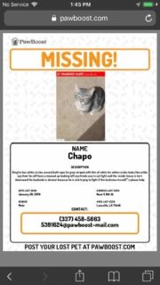 911 cat missing. my baby chapo has not come home