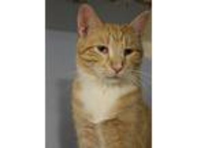 Adopt Marty Jr a Orange or Red Tabby Domestic Shorthair (short coat) cat in New